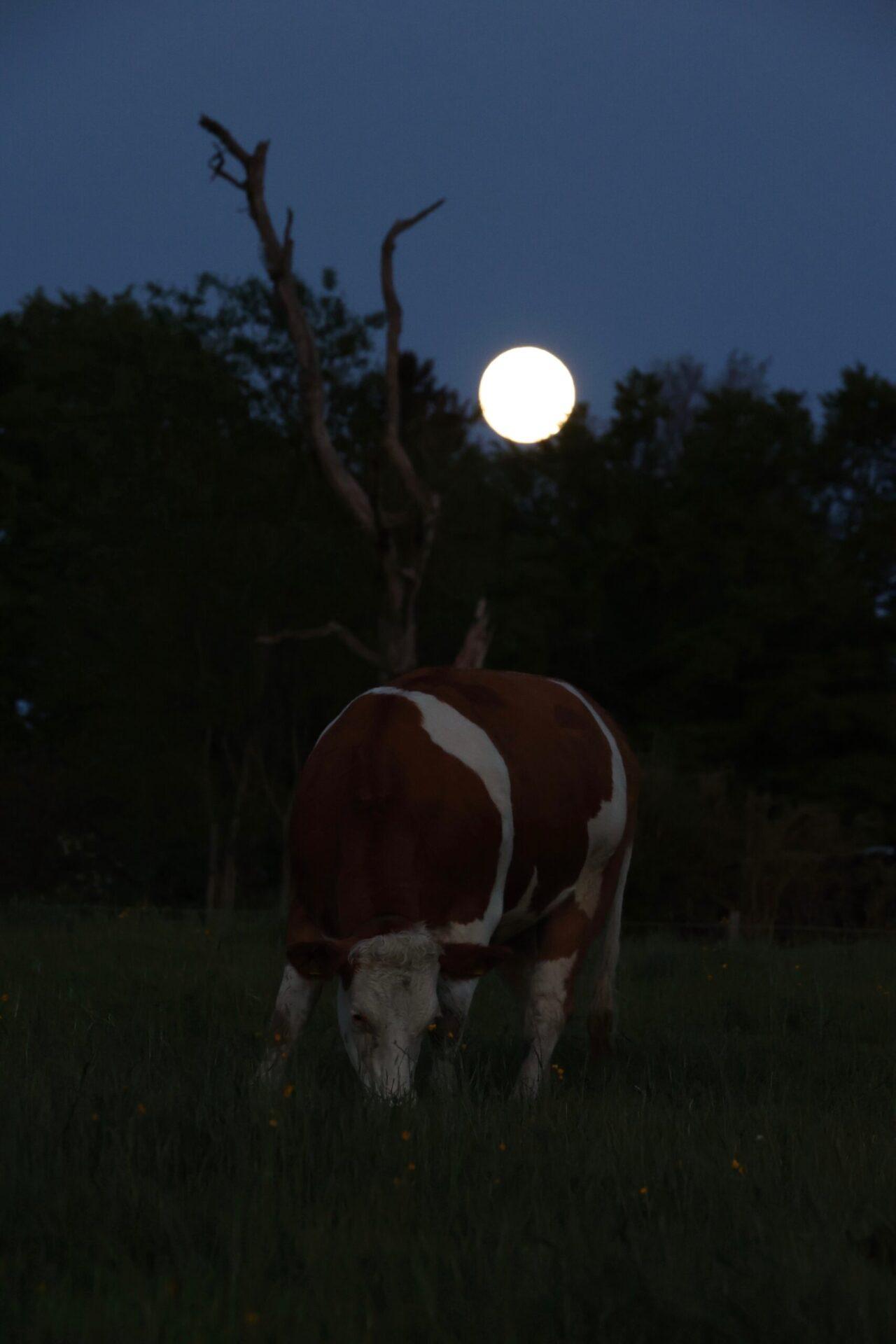 Eine Kuh steht auf einer dunklen Weide. Im Hintergrund strahlt der Vollmond.
