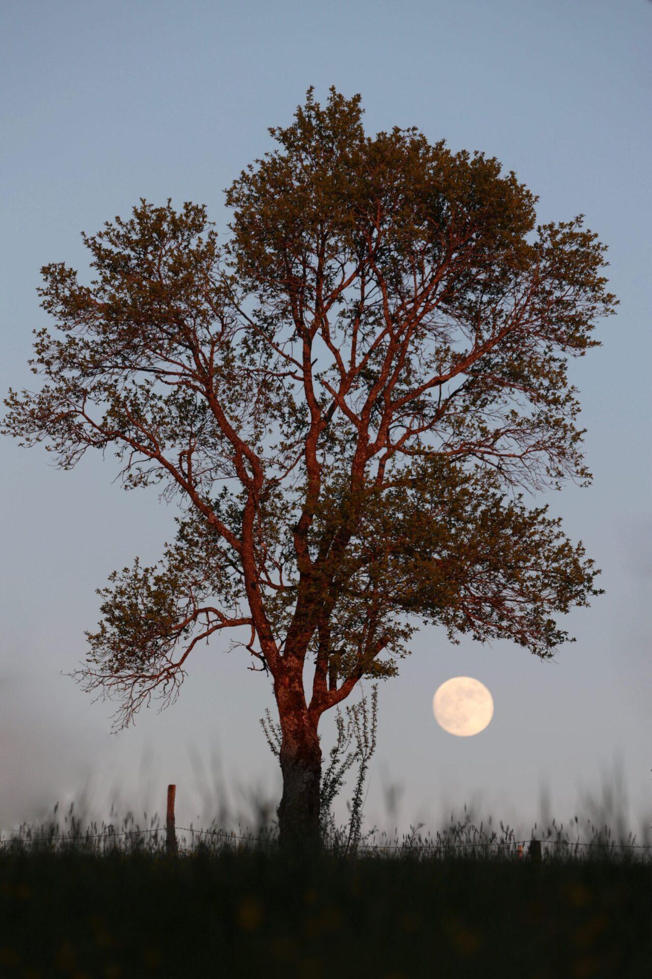 Der Mond geht auf über eine Weide im Mai