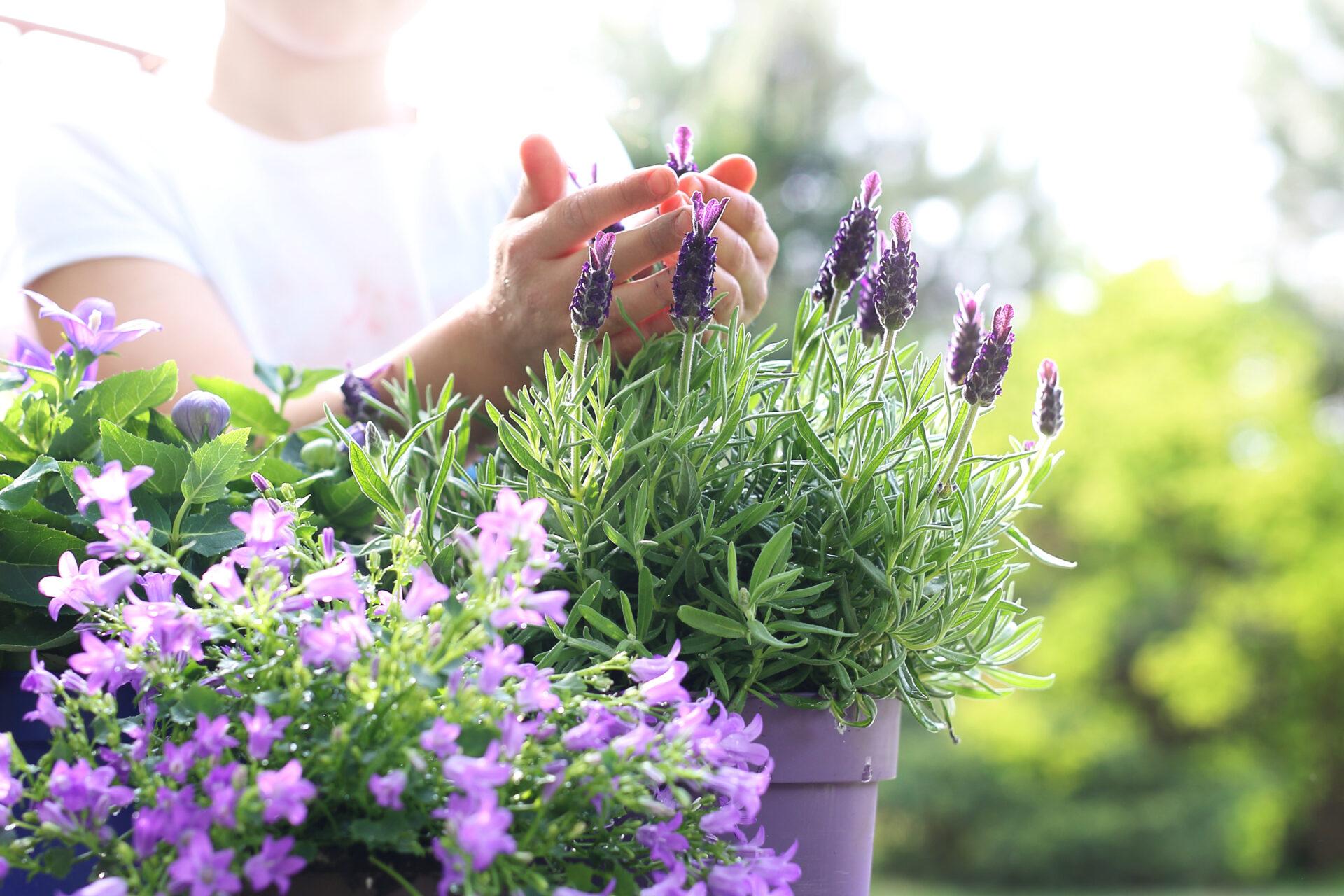 Lavendel auf dem Balkon. Im Hintergrund steht ein mensch mit einem weißen Shirt und hat die Hände in den Lavendelblüten