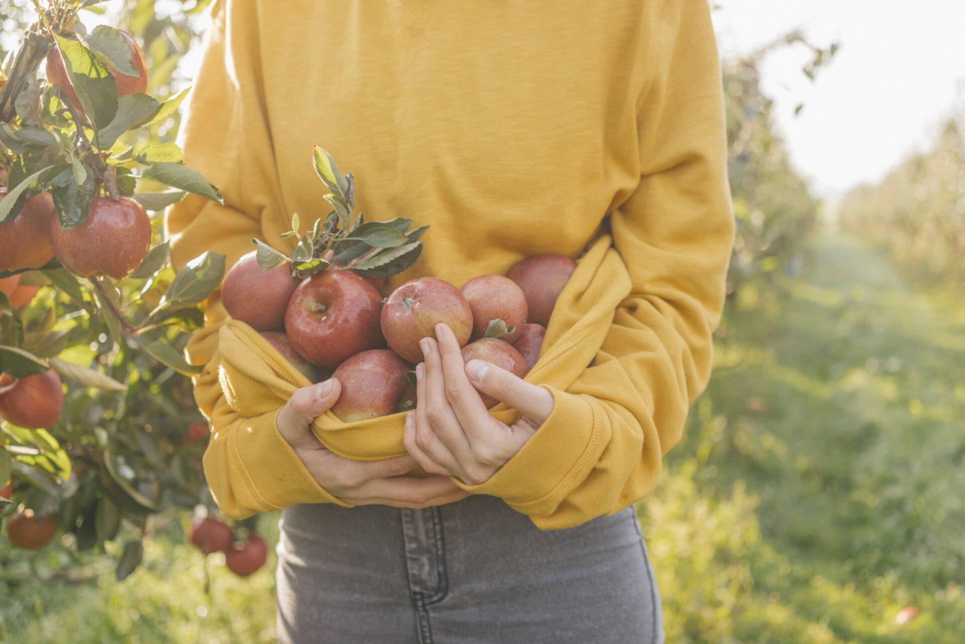Gelbes Band Apfelbaumernte Frau in Jeans mit gelben Pullover und vielen Äpfeln im Pullover © IMAGO / Westend61