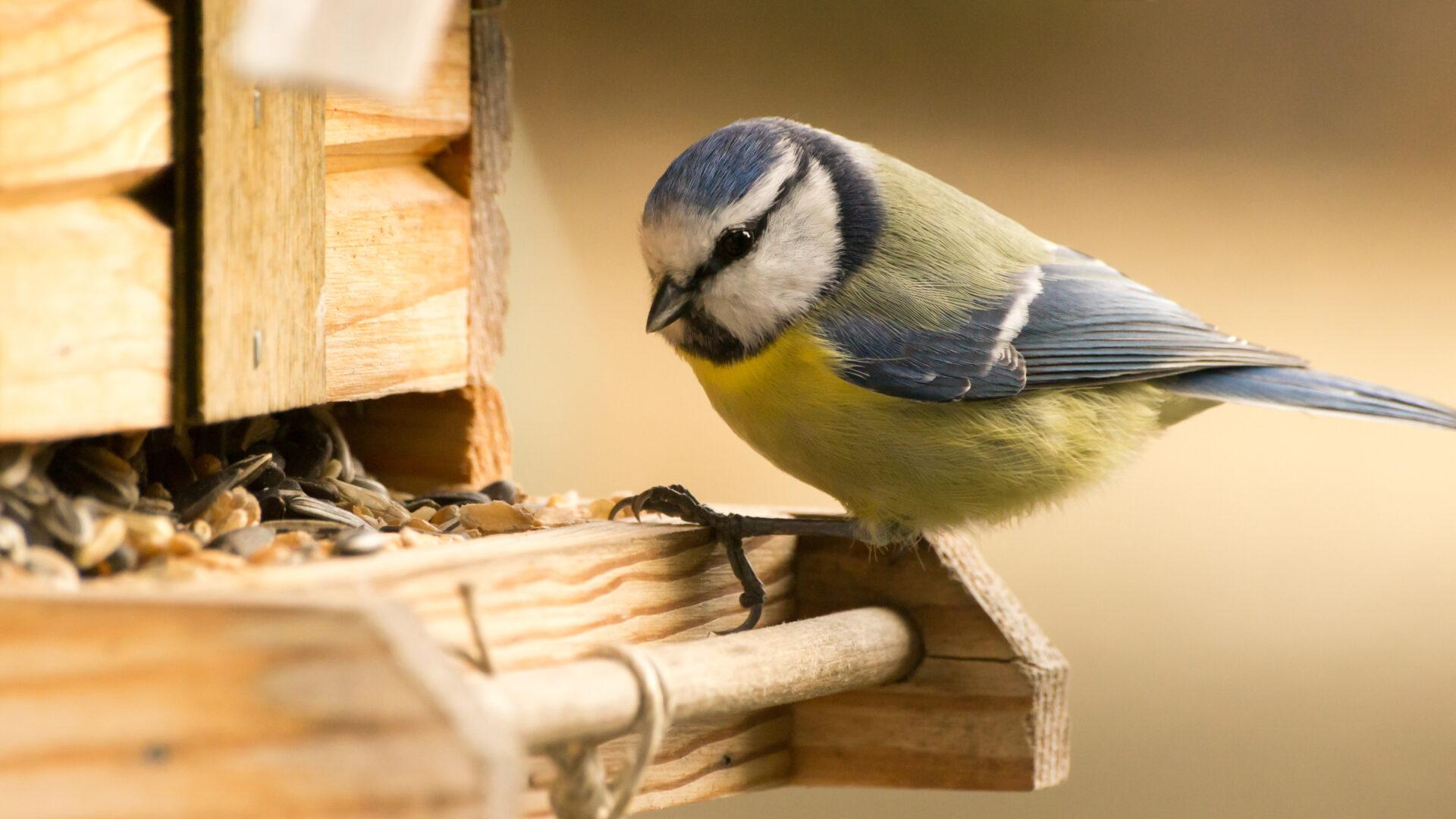 Eine Blaumeise sind am Rand eines Vogelfutterhäuschens.