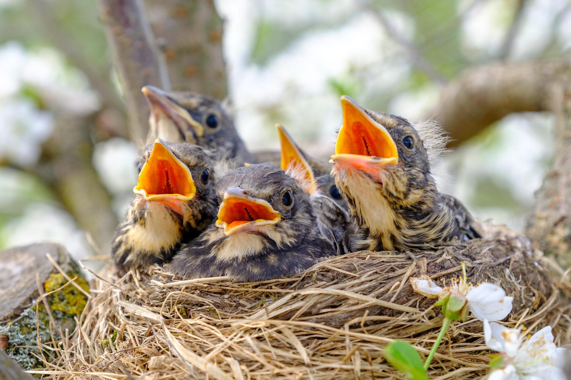 Nestlinge sitzen im Vogelnest und verlangen nach Futter.