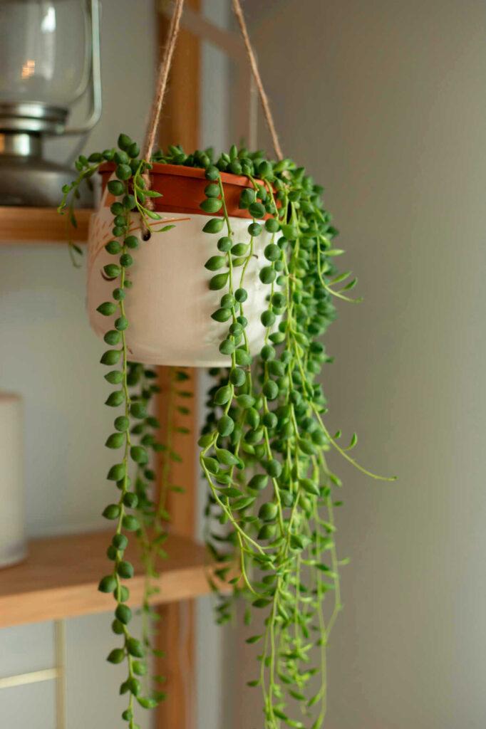 Die Erbsenpflanze entwickelt lange Triebe mit erbsenartigen Blättern.