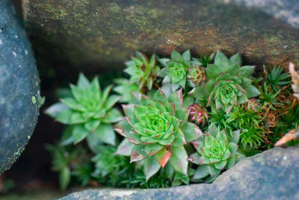 Die Hauswurz wächst in Felspalten und bildet viele Rosetten aus.