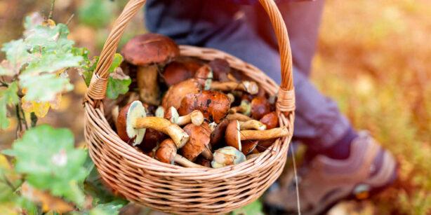 Pilze sammeln: So findet ihr die besten Sammelplätze